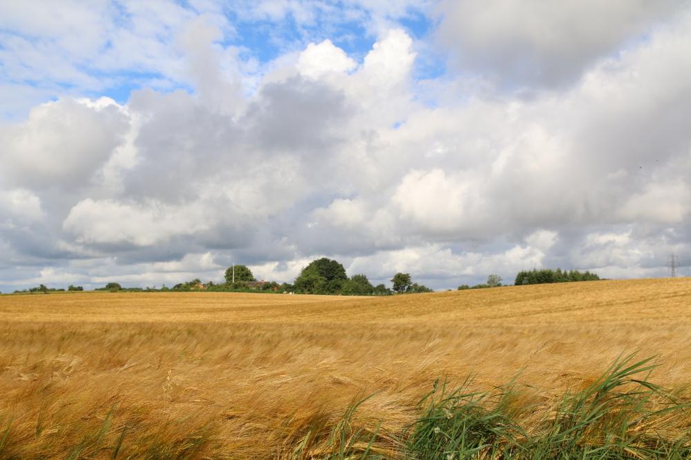 Golden steht der Weizen auf den Feldern (den passenden Sound kannst Du unten abspielen).