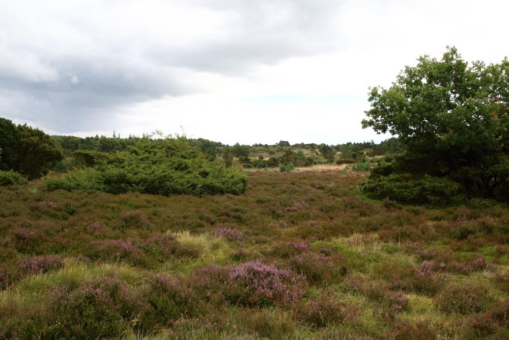 Immer wieder durchquere ich ausgeprägte Heidelandschaften.